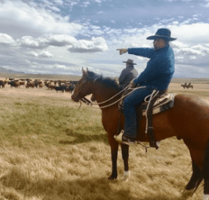 Horseman points at cattle