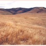 Sea of cheatgrass