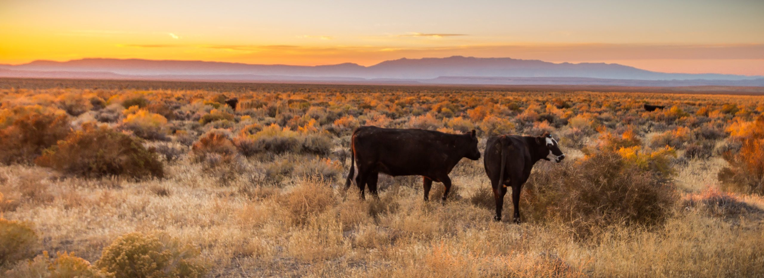Two black cows in front of sunset