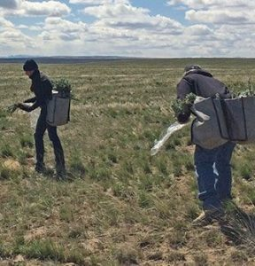 People seeding in sagebrush