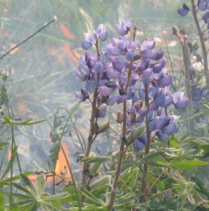 Lupine in smoke